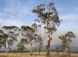 Tasmanian trees